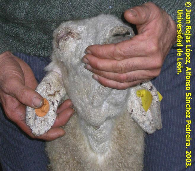 sarna sarcoptica ovejas