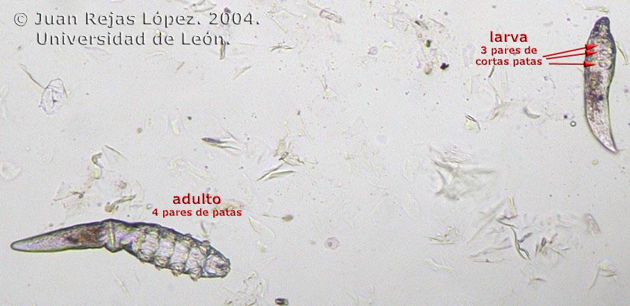 demodex canis microscopio
